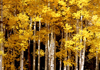 4310 Aspens (Autumn Leaves)